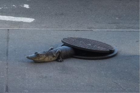 Légende urbaine crocodile